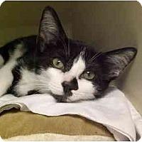 Adopt A Pet :: Bandit - Lombard, IL