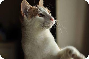 Domestic Shorthair Cat for adoption in Mount Laurel, New Jersey - Rowan