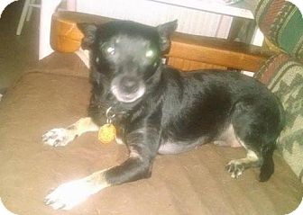 Chihuahua Dog for adoption in Fort Worth, Texas - Jazzy