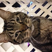 Domestic Shorthair Cat for adoption in Fresno, California - Cooler