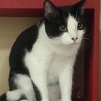 Domestic Shorthair Cat for adoption in Mesa, Arizona - Lindburg
