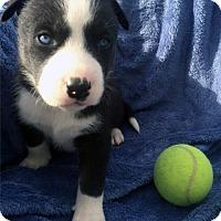 Adopt A Pet :: Regan Pup - Dee - San Diego, CA