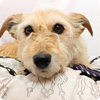 Adopt A Pet :: Chibi - Ponca City, OK