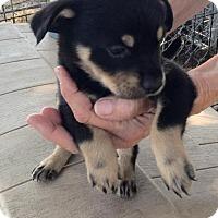 Adopt A Pet :: Alfred 2 - Aurora, CO
