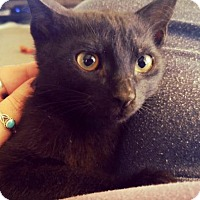 Domestic Shorthair Cat for adoption in Glendale, Arizona - Karma