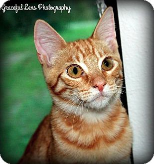 Domestic Shorthair Cat for adoption in Ocala, Florida - Pumpkin