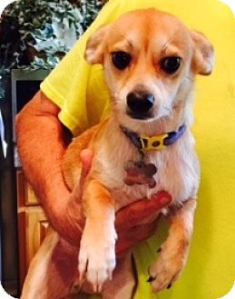 Chihuahua Mix Dog for adoption in Beavercreek, Ohio - Ben