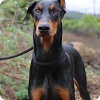 Adopt A Pet :: Cairo - Fillmore, CA
