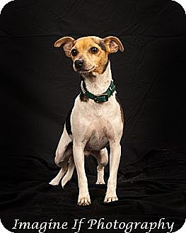 Rat Terrier Mix Dog for adoption in Crescent, Oklahoma - Jack