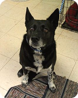 Cattle Dog Mix Dog for adoption in New Cumberland, West Virginia - Odie