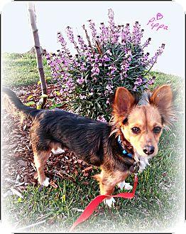 Papillon/Dachshund Mix Dog for adoption in Homewood, Alabama - Pippa