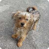 Adopt A Pet :: Ozzy - Ormond Beach, FL