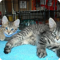 Adopt A Pet :: Pepper & Percy (Kitten Cuties! - Arlington, VA