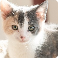 Adopt A Pet :: Delia - Chicago, IL