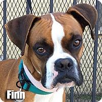 Adopt A Pet :: Finn - Encino, CA