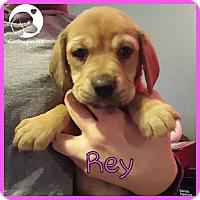 Adopt A Pet :: Rey - Novi, MI