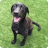 Adopt A Pet :: Buddy - I'm an Adoption Center Dog - Chicago, IL