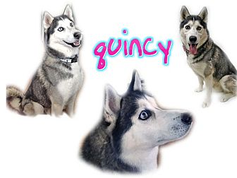 Siberian Husky Dog for adoption in Seminole, Florida - Quincy