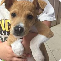 Adopt A Pet :: Little Bit - Trenton, NJ