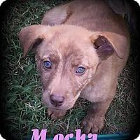 Adopt A Pet :: Mocha - Denver, NC
