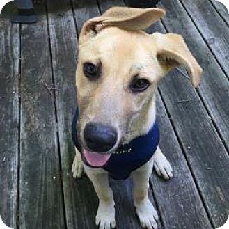 Shepherd (Unknown Type) Mix Dog for adoption in West Hartford, Connecticut - Ziggy