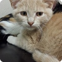 Domestic Shorthair Kitten for adoption in Joplin, Missouri - George 110399