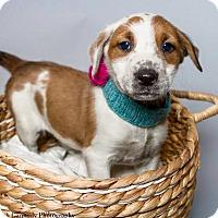 Adopt A Pet :: Anna - Jacksonville, NC