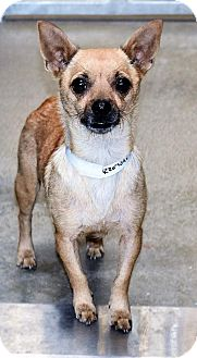 Chihuahua Mix Dog for adoption in San Jacinto, California - Jody