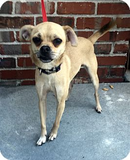 Italian Greyhound/Chihuahua Mix Dog for adoption in Summerville, South Carolina - Patience