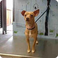 Chihuahua Mix Dog for adoption in San Bernardino, California - URGENT on 11/4 SAN BERNARDINO