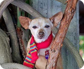 Chihuahua/Dachshund Mix Dog for adoption in Pittsburg, California - *San Benito County -- LONGEST RESIDENT
