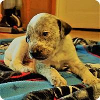 Adopt A Pet :: Oreo - Wichita Falls, TX