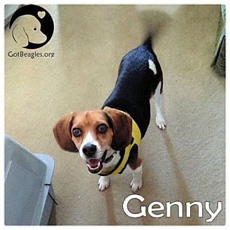 Beagle Dog for adoption in Pittsburgh, Pennsylvania - Genny