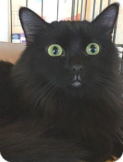 Persian Cat for adoption in Rustburg, Virginia - Zisa-fostered