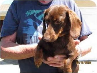 Dachshund Puppy for adoption in Garden Grove, California - Coco Puff