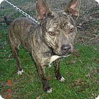Adopt A Pet :: Blitzen - Stilwell, OK