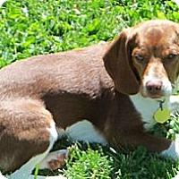 Adopt A Pet :: Kaia - Novi, MI