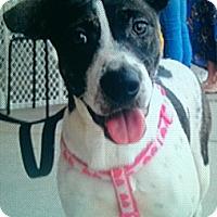 Pointer/Boxer Mix Puppy for adoption in Miami, Florida - Sophia