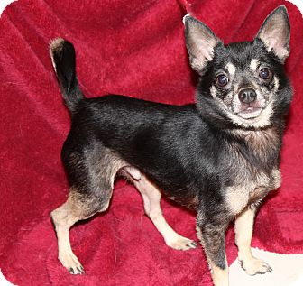 Chihuahua Dog for adoption in Va Beach, Virginia - Brownie