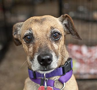 Rat Terrier Mix Dog for adoption in Tanner, Alabama - Brownie
