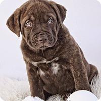 Adopt A Pet :: Digate - Adoption Pending - West Allis, WI