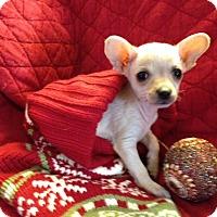 Adopt A Pet :: Holly - Henderson, NV