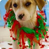 Adopt A Pet :: Arwen - Carteret/Eatontown, NJ