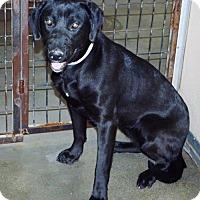 Adopt A Pet :: Black Lab female - San Jacinto, CA