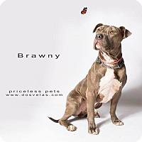 Adopt A Pet :: Brawny - Chino Hills - Chino Hills, CA