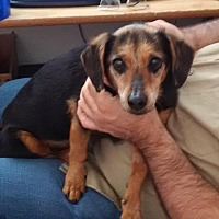 Adopt A Pet :: Shorty - Rosamond, CA
