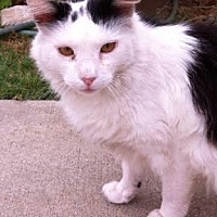 Turkish Angora Cat for adoption in Cerritos, California - Saphyra