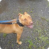 Adopt A Pet :: Macaroni - East McKeesport, PA