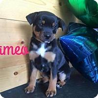 Adopt A Pet :: Cameo - Sacramento, CA