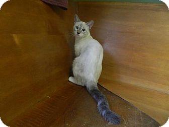 Siamese Cat for adoption in Randleman, North Carolina - Sansa